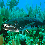Great Baracuda reefs and neaby areas in Tropical West Atlantic, also nearly circumtropical; picture taken Little Cayman.