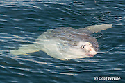 an ocean sunfish, Mola mola, at the surface; an unusual sighting in the Pacific Ocean off Tofino, Vancouver Island, BC, Canada; associated with warmer than usual water temperatures.