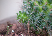 Cactus vegetative propagation. Bristle brush cactus (Mammillaria spinosissima) AKA  spiny pincushion cactus native to central Mexico