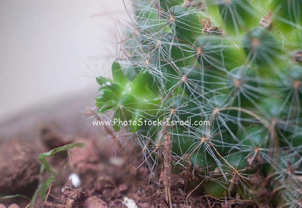 Cactus vegetative propagation. Bristle brush cactus (Mammillaria spinosissima) AKA  spiny pincushion cactus native to central Mexico