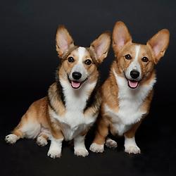 Welsh Corgis Dogs