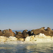 Walrus, (Odobenus rosmarus)  Group near Banks Island. Nunavut. Canada.