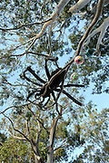 """Public artwork on display as part of the annual Trunk Art Wrap Festival in Bassendean, Western Australia. All artworks are made entirely of recycled industrial or domestic waste materials.<br /> <p><br /> Here a giant spider lurks 5 meters above the ground, watching over her coloured football """"eggs""""."""