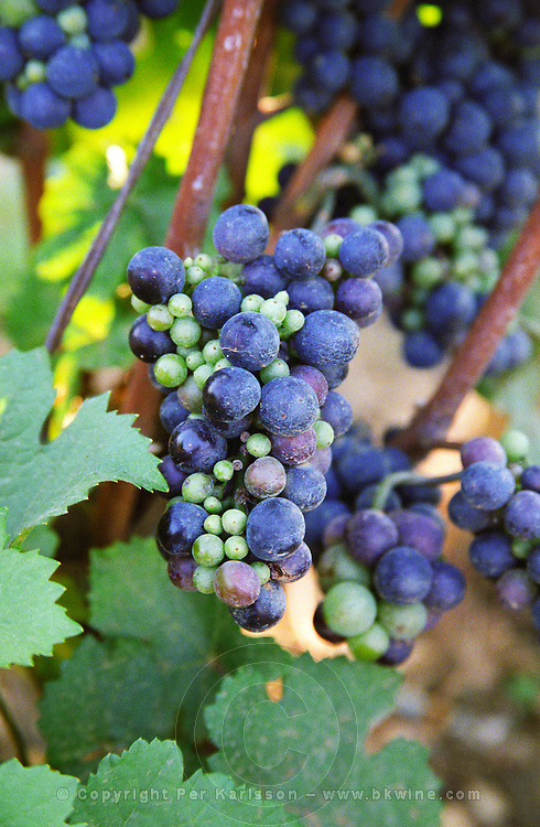 A bunch of Pinot Noir in a Chambertin vineyard showing uneven ripeness due to colure (a disease), Bourgogne