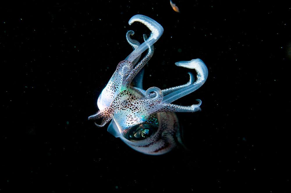 Caribbean reef squid (Sepioteuthis sepioidea) at night in The Bahamas.