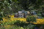 Lobster Traps taking a break in a field of summer flowers, Stonington, Maine