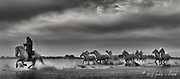 Camargue Horse, Black and white horse, Camargue horse, Camargue horse fine art print, Camargue horses on beach, fine art horse print, horse print, White horse, horse photos, horse photography