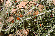 Israel, Hermon Mountain a column of ladybirds