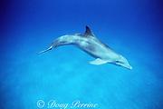 wild juvenile bottlenose dolphin, Tursiops truncatus, Bahamas ( Western Atlantic Ocean )
