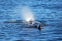 Sperm whale oxygenating, off Kaikoura, South Island, New Zealand. 201004105231..Copyright Image from Victor Patterson, 54 Dorchester Park, Belfast, UK, BT9 6RJ..Tel: +44 28 9066 1296.Mob: +44 7802 353836.Voicemail +44 20 8816 7153.Skype: victorpattersonbelfast.Email: victorpatterson@mac.com.Email: victorpatterson@ireland.com (back-up)..IMPORTANT: If you wish to use this image or any other of my images please go to www.victorpatterson.com and click on the Terms & Conditions. Then contact me by email or phone with the reference number(s) of the image(s) concerned.
