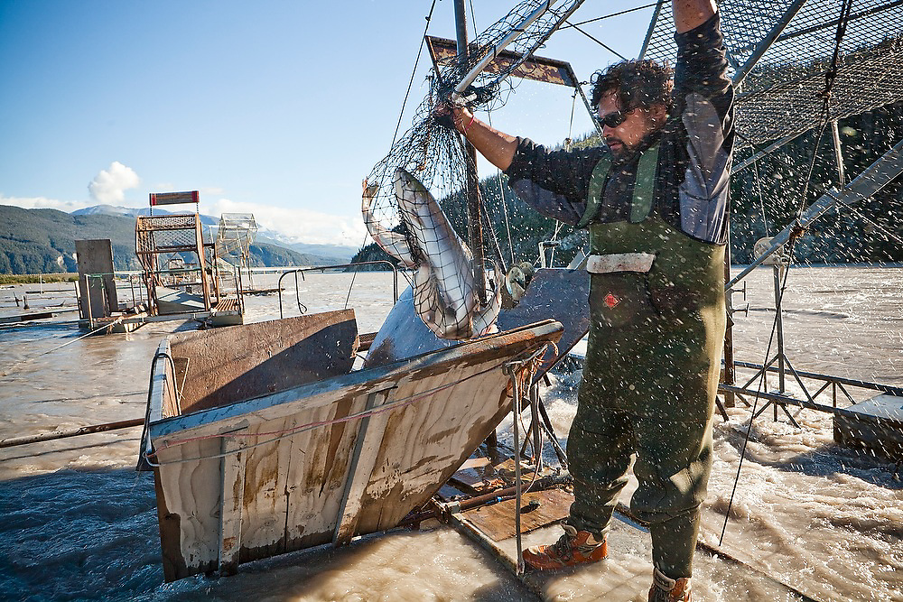 Carlos Rivera, from Wasilla, pulls up sockeye salmon in his net from his family's fish wheel on the Copper River, near Chitina, Alaska.