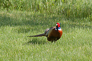 Rooster Pheasant During Spring Breeding Season