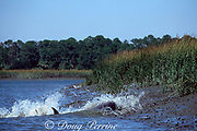 mullet, Mugil sp., leap out of the water to escape as  strand-feeding bottlenose dolphins, Tursiops truncatus, rush the bank of a salt marsh, South Carolina, USA, North America