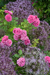 Rosa 'The Mayflower' with Allium cristophii syn. A. christophii in the rose garden at Sissinghurst