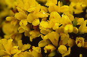 AF5GXA Close up of common gorse yellow flowers with water dew droplets