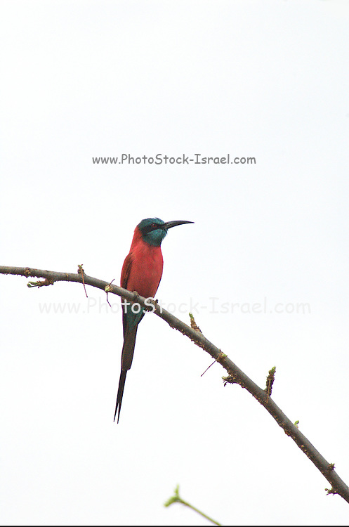Africa, Ethiopia, Carmine bee eater (Merops nubicoides) perched on a branch