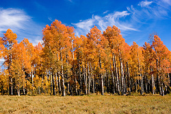 Golden Aspen leaves, aspen trees in fall, white bark, autumn, fall leaves, fall color, Markagunt Plateau, Cedar Mountain, Hwy 132, Mile Marker 24, Dixie National Forest, Utah, UT, Image ut321-18904, Photo copyright: Lee Foster, www.fostertravel.com, lee@fostertravel.com, 510-549-2202