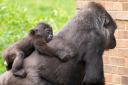 © Licensed to London News Pictures; 18/08/2021; Bristol, UK. Baby Hasani with his surrogate mum Kera. Hasani, Bristol Zoo Gardens' surrogate-raised gorilla turns one year old on his first birthday. Hasani the critically endangered western lowland gorilla was born in the early hours of 19 August last year, is developing at the same rate as a human infant, has around 10 teeth and drinks four bottles of milk a day. He was born to mum Kala and father Jock -- the zoo's silverback -- but a lack of confidence shown by his mother following the birth led to her refusing to care for him. It was decided Hasani would be hand-reared by his dedicated keepers at the zoo who took it in turns to look after him, both day and night. During his first five months of life, keepers ensured he had sight of the six other gorillas at Bristol Zoo Gardens for the majority of every day so he could both smell and communicate with them whilst he was with his human carers. It became clear that one of the Zoo's other female gorillas, 18-year-old Kera, was showing positive signs of wanting to care for Hasani and at eight months old, and after many successful meetings between the pair, Hasani was handed over to his surrogate mum Kera. Photo credit: Simon Chapman/LNP.