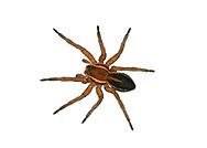 Raft Spider - Dolomedes fimbriatus