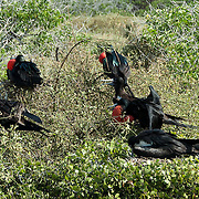 Great Frigatebird (Fregata minor).  A group of birds in brush. Males have red gular sacs inflated to attract a mate.  Galapagos, Ecuador.