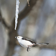 This is a long-tailed tit (Aegithalos caudatus) hovering in front of an icicle formed from the sap of a painted maple tree (Acer pictum). During winter months, small birds like this make use of this calorie-rich food source (essentially frozen maple syrup) to fuel their high metabolisms. The birds fly to an icicle, hover, break off a piece and fly away, all in the blink of eye. Image 3 in a sequence of 3, showing the bird flying away with a piece of the icicle.