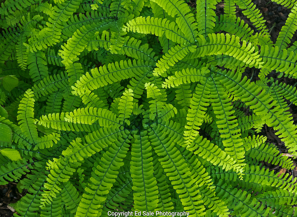 Repeating spoke  patterns in lush ferns during spring in Portland, Oregon