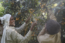 April 25, 2017 - Lahore, Punjab, Pakistan - Pakistani farmers busy collecting loquat (Eriobotrya japonica).The loquat (Eriobotrya japonica) is a species of flowering plant in the family Rosaceae,an ancient fruit grown in Japan for the past 1,000 years, is probably native to the cooler hill regions of China to south-central China.It is a large evergreen shrub or tree, grown commercially for its yellow fruit, and also cultivated as an ornamental plant.Eriobotrya japonica was formerly thought to be closely related to the genus Mespilus, and is still sometimes known as the Japanese medlar. It is also known as Japanese plum and Chinese plum,also known as pipa in China (Credit Image: © Rana Sajid Hussain/Pacific Press via ZUMA Wire)
