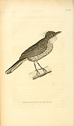 Tricophorus barbatus from volume XIII (Aves) Part 2, of 'General Zoology or Systematic Natural History' by British naturalist George Shaw (1751-1813). Griffith, Mrs., engraver. Heath, Charles, 1785-1848, engraver. Stephens, James Francis, 1792-1853 Published in London in 1825 by G. Kearsley