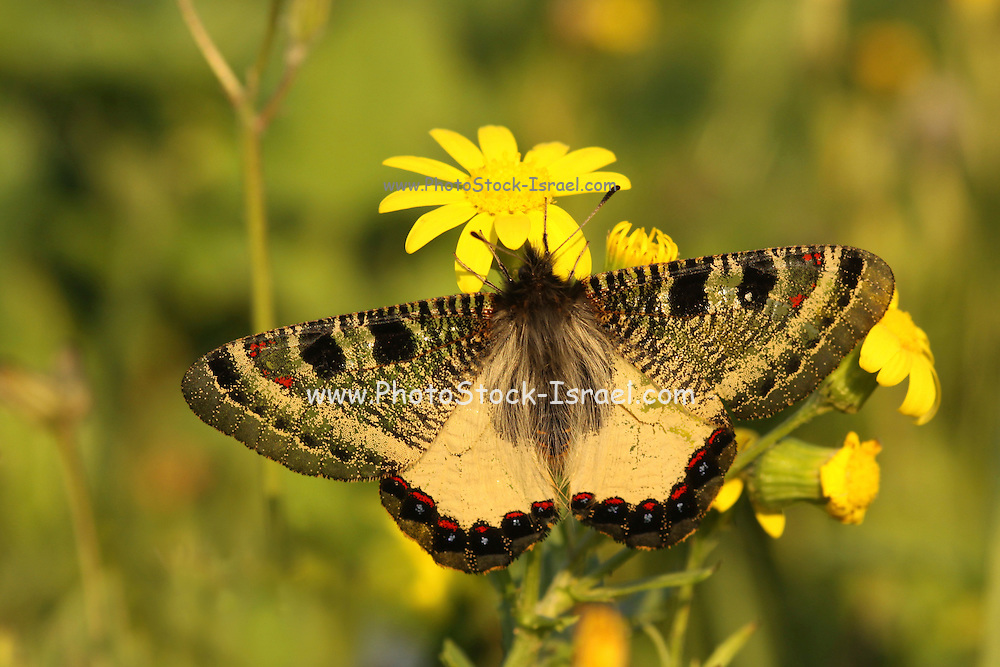 False Apollo, (Archon apollinus) butterfly belonging to the Parnassinae Subfamily. Specimen from Israel January 2010