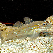 Sand-Canyon Goby inhabit deep clearwater areas of sand and rubble around reefs, often in areas of current in Tropical West Atlantic; picture taken St. Vincent.