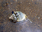 Marine snail feeding on mudflats at low tide (possibly Cancellaria sp.), Kadavu, Fiji.