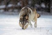 Wolf, Coyote, Fox