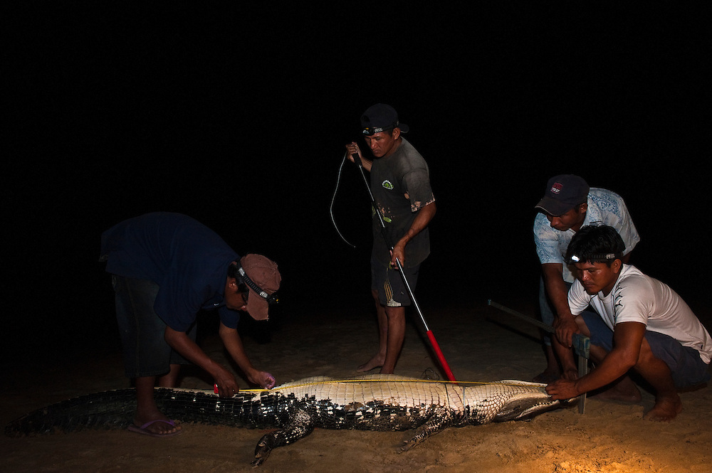 Black Caiman Catching (Melanosuchus niger)<br /> Savannah<br /> Rupununi<br /> GUYANA. South America<br /> RANGE: Amazon River basin and Guyana Shield<br /> Appendix I by the Convention of International Trade of Endangered Species  (CITES) - threatened with extinction.