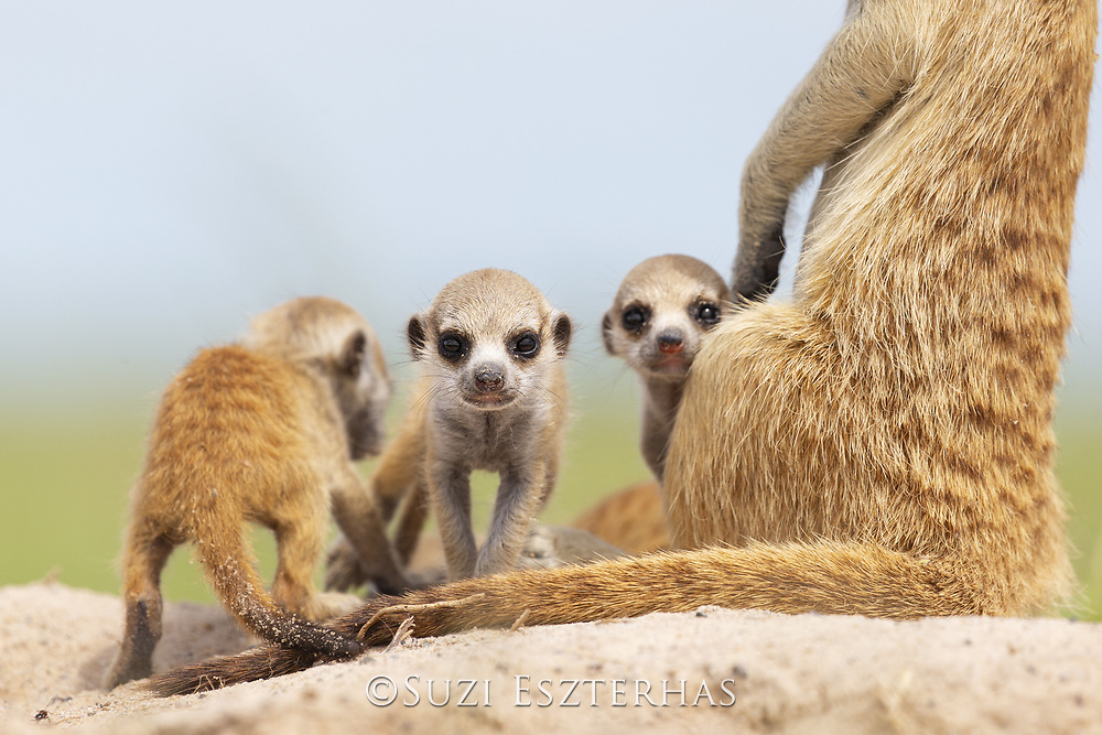 Meerkat<br /> Suricata suricatta<br /> Two-week-old pups<br /> Makgadikgadi Pans, Botswana