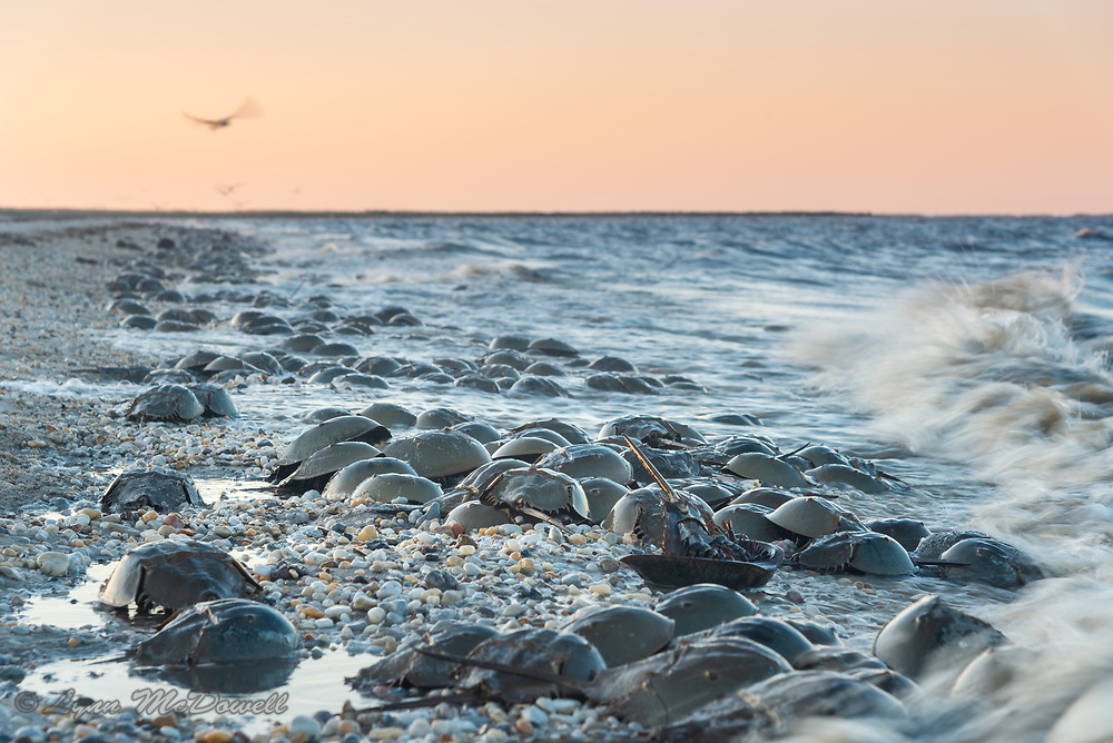 The sun sets on the ancient ritual of spring Horseshoe crab spawning on the Delaware Bay providing essential eggs for the migrating shorebirds. <br /> Delaware Bayshore, Pickering Beach