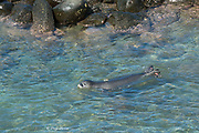 a recently weaned 56 day old male Hawaiian monk seal, Neomonachus schauinslandi, swims in the ocean after attachment of flipper tags and GPS satellite transmitter at Keokea Beach Park, Niulii, North Kohala, Hawaii Island ( the Big Island ), Hawaii, U.S.A., (9 days after pup was weaned)