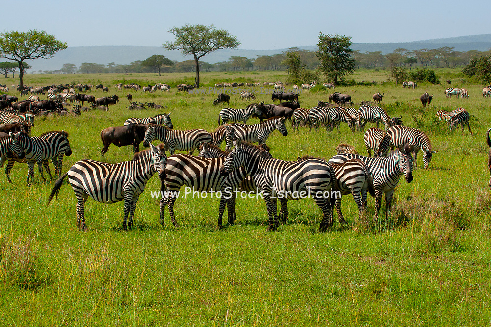 A herd of common zebra Photographed in Tanzania