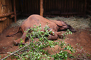 Orphaned elephant calf (Loxodonta africana) at the David Sheldrick Wildlife Trust orphanage for elephant orphans, laying down in his stall at night to go to sleep. These young elephant calves were orphaned after their mothers were poached for their ivory, Nairobi, Kenya