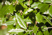 Evergreen leaves of Quercus ilex, the holm oak or holly oak, Suffolk, England
