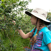 Ten year old girl picking blueberries at a pick-your-own farm in Massachusetts.