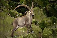 FEATURE: Alpine Animals