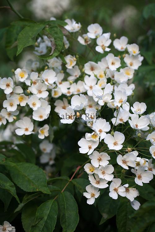 Rosa filipes 'Kiftsgate' - rambling rose