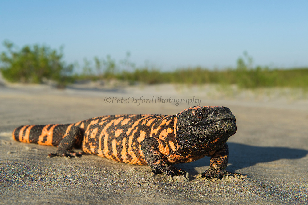 Gila Monster (Heloderma suspectum)<br /> The Orianne Society - CAPTIVE<br /> USA<br /> Range & Habitat Native to sw USA and Mexico's Senora state where they live in scrubland, succulent desert and oak woodland.
