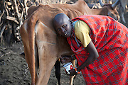"""Noolkisaruni Tarakuai, the third of four wives of a Maasai chief, milks a drought-stricken cow at her home near Narok, Kenya, and is able to draw only a half cup of milk. (From the book What I Eat: Around the World in 80 Diets.) The caloric value of her typical day's worth of food on a day in the month of January was 800 kcals. She is 38; 5'5"""" and 103 pounds. MODEL RELEASED."""