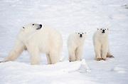 Canada. Manitoba. Cape Churchill. Polar bear (Ursus maritimus), sow and cubs.