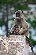 A langur monkey and its mother sit on a pillar  on the banks of the  Hooghley River in Chandannagar, India