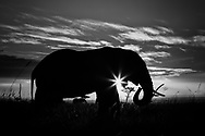 Between the silhouetted elephants and sunburst, a star is born in the iconic Maasai Mara, Kenya.