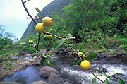 Guavas, Kalalau, Napali Coast, Kauai<br />