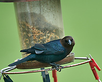 Male Brown-headed Cowbird at the bird feeder. Image taken with a Nikon D5 camera and 600 mm f/4 VR lens (ISO 1100, 600 mm, f/5.6, 1/1250 sec).