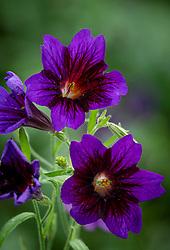 Salpiglossis sinuata 'Kew Blue' - Painted Tongue, Velvet Trumpet Flower